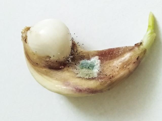 ニンニクに生えた白カビ