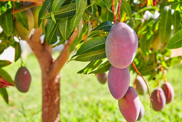 木に実るマンゴー