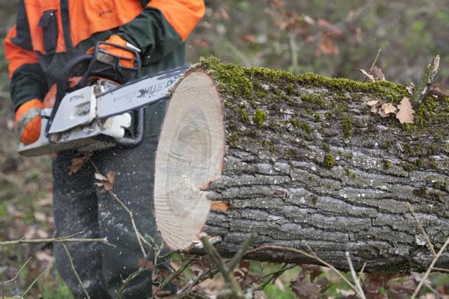 木をチェーンソーで切る