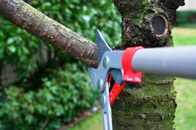 太枝を剪定する