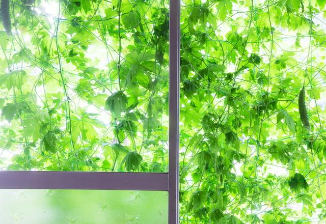 窓越しに見るグリーンカーテン