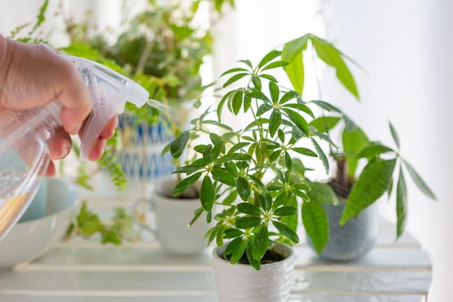 霧吹きで観葉植物に水やりをしているところ