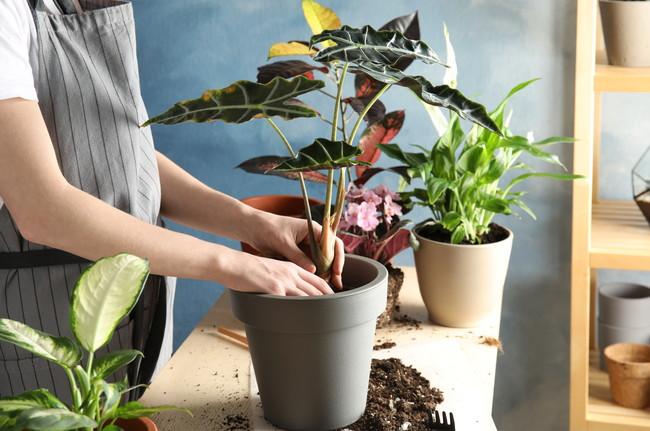 観葉植物の鉢植えをしているところ
