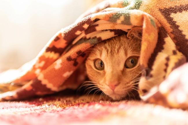 毛布の中に入っているちゃとら猫