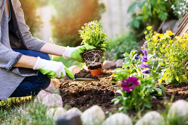 ガーデニングで花を鉢から出して地植えしているところをしている
