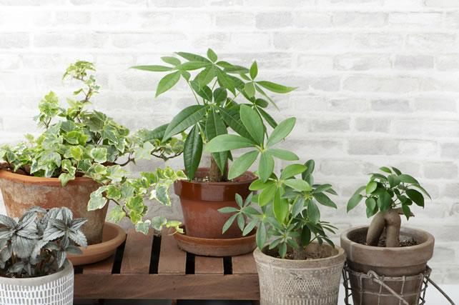 ガジュマルと観葉植物多数