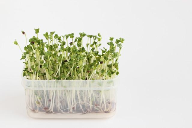 四角い半透明な容器で育てているブロッコリースプラウト