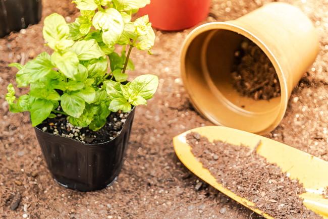 ミントの鉢植え