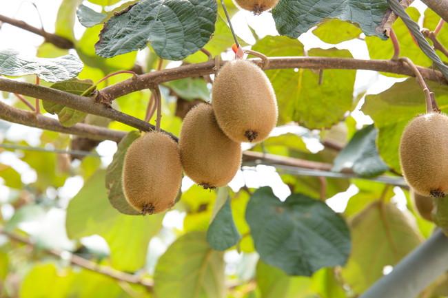 栽培中のキウイフルーツ
