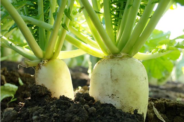 土の中の大根
