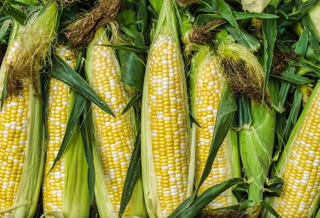 収穫したてのトウモロコシ