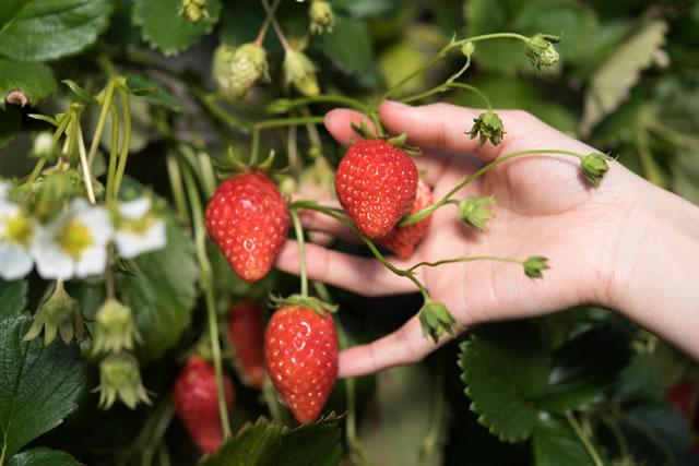 イチゴ 収穫 栽培 イチゴ狩り