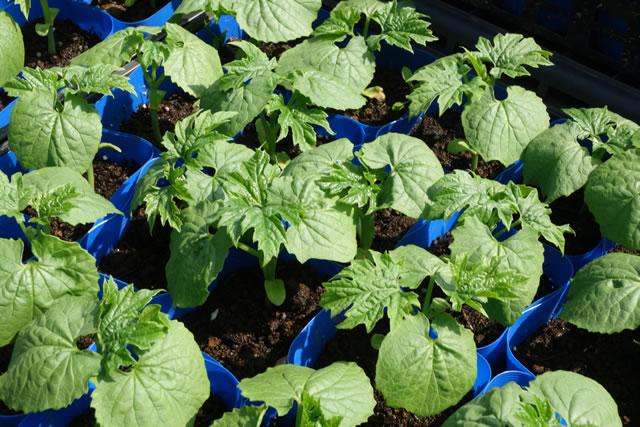 苦瓜、ゴーヤの野菜苗