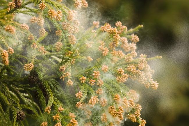スギ花粉が飛散している様子