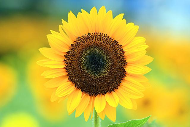 まっすぐ見つめるひまわりの花