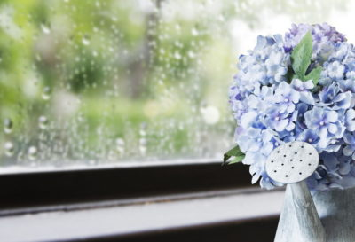 Hydrangea flowers in zinc watering can in rainy day