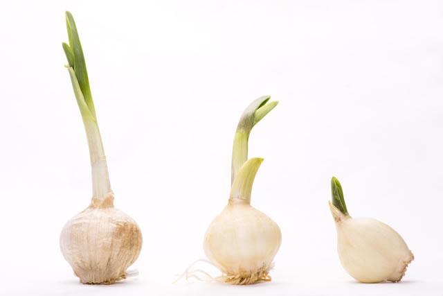 3個の芽の出たニンニク