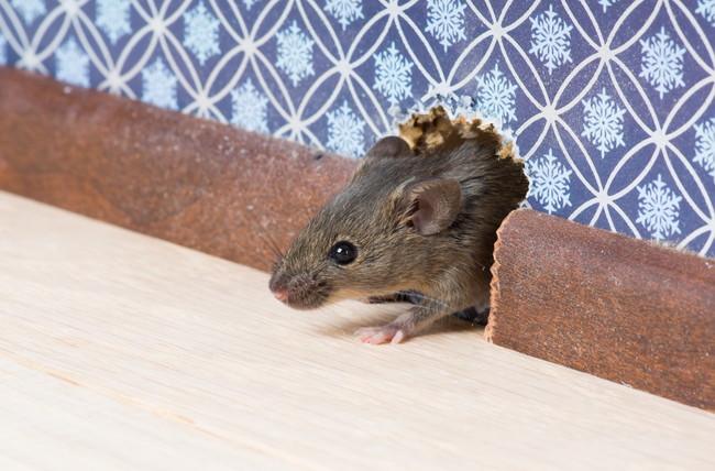 家の隙間から顔を出すネズミ