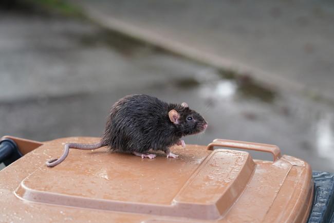 ゴミ箱の上にいるネズミ