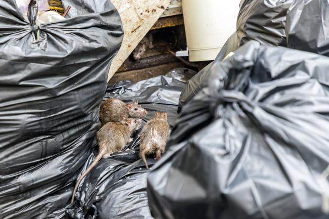 ゴミ置き場にたかるネズミ