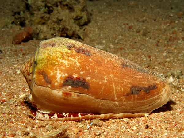 海底のアンボイナガイ
