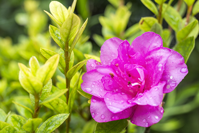 二重のサツキの花